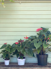 Load image into Gallery viewer, Anthurium - Flamingo Plant