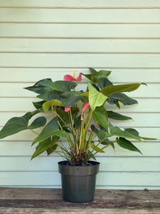 Anthurium - Flamingo Plant - Mickey Hargitay Plants