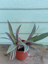 Load image into Gallery viewer, Tradescantia - Rhoeo Tricolor - Mickey Hargitay Plants
