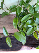 Load image into Gallery viewer, Hoya Carnosa - Mickey Hargitay Plants