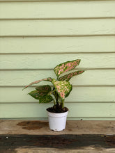 Load image into Gallery viewer, Chinese Evergreen - Lady Valentine