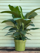 Load image into Gallery viewer, Spathiphyllum - Sensation
