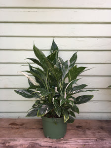 Spathiphyllum - Peace Lily Domino