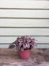 Load image into Gallery viewer, Hypoestes - Polka Dot Plant
