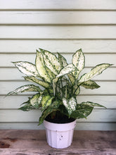 Load image into Gallery viewer, Chinese Evergreen - First Diamond