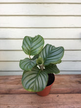 Load image into Gallery viewer, Calathea orbifolia