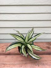 Load image into Gallery viewer, Dracaena malaika