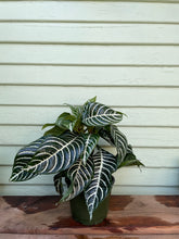 Load image into Gallery viewer, Aphelandra squarrosa - Zebra Plant