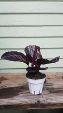 Load image into Gallery viewer, Calathea Dottie