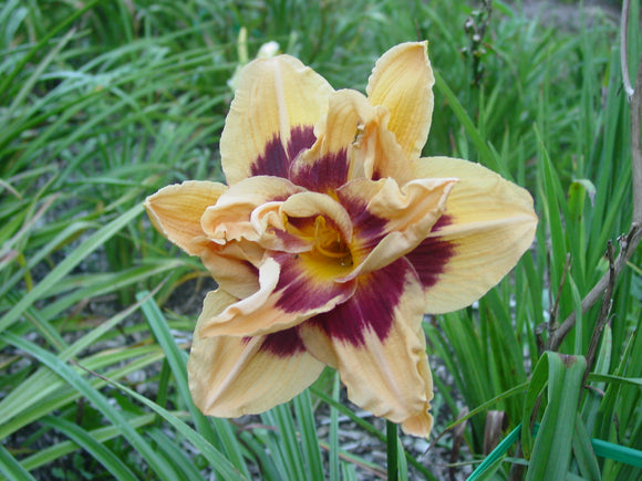 Double Bloom Daylilies