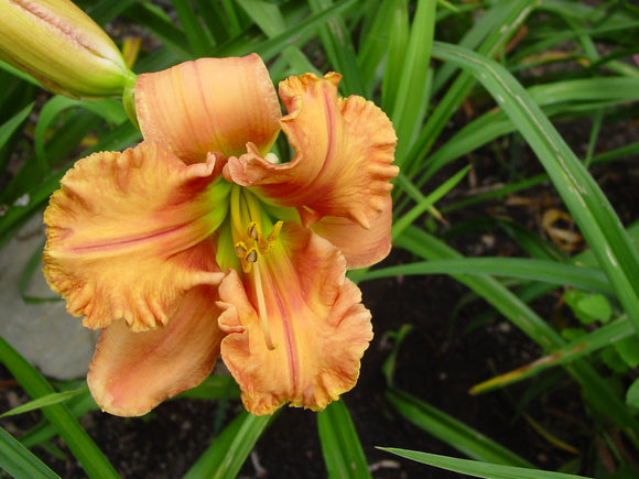 Sculpted Daylilies