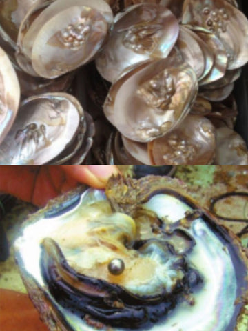 Tahitian pearl oyster VS freshwater pearl mussel