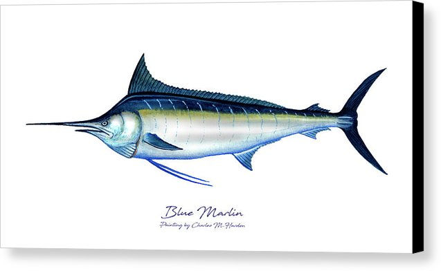 Blue Marlin - Canvas Print