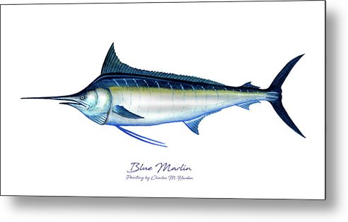 Blue Marlin - Metal Print