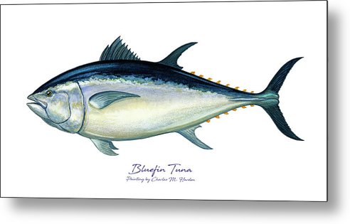 Bluefin Tuna - Metal Print