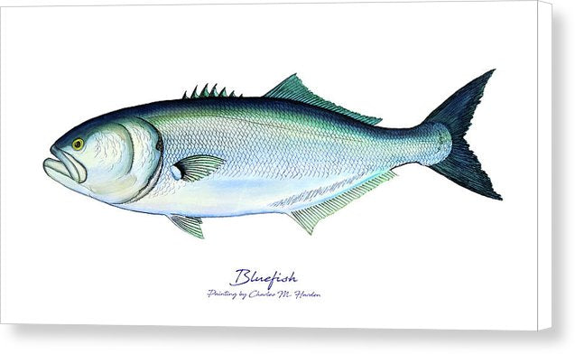Bluefish - Canvas Print