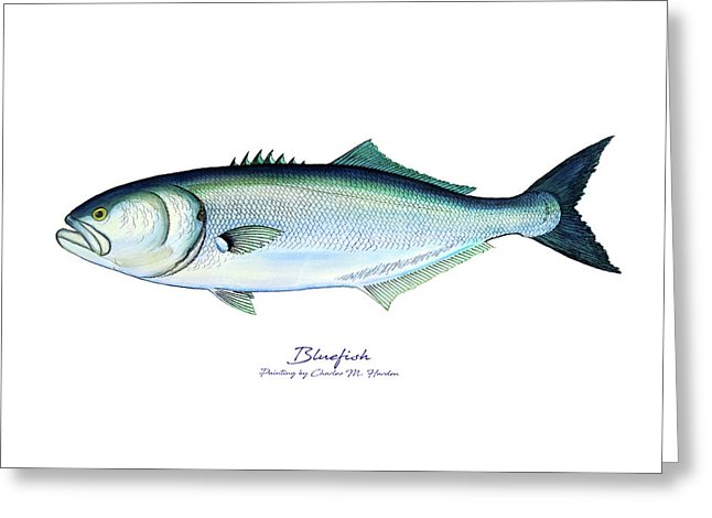 Bluefish - Greeting Card