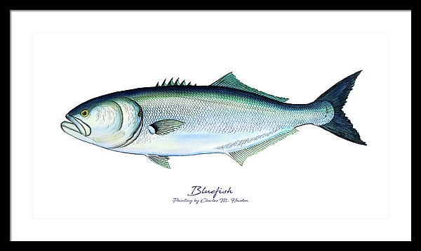 Bluefish - Framed Print