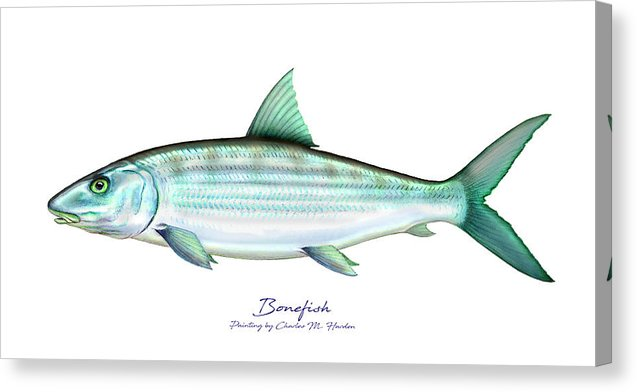 Bonefish - Canvas Print