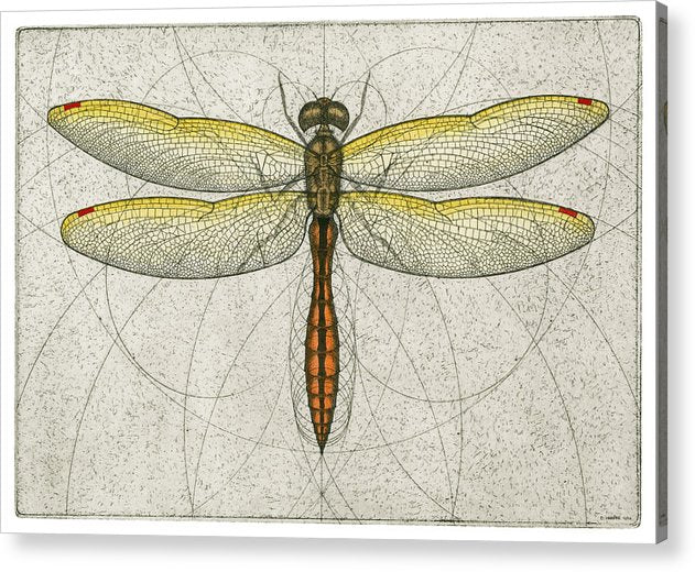 Golden Winged Skimmer - Acrylic Print