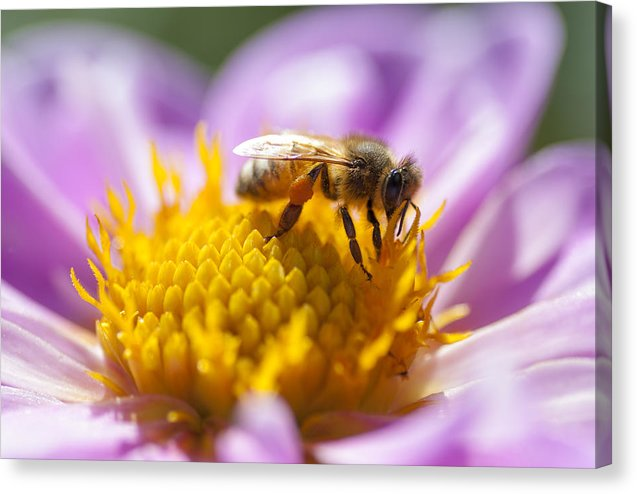 Honeybee On A Dahlia Flower - Canvas Print