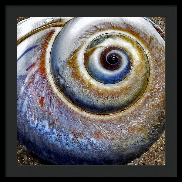 Moon Snail - Framed Print