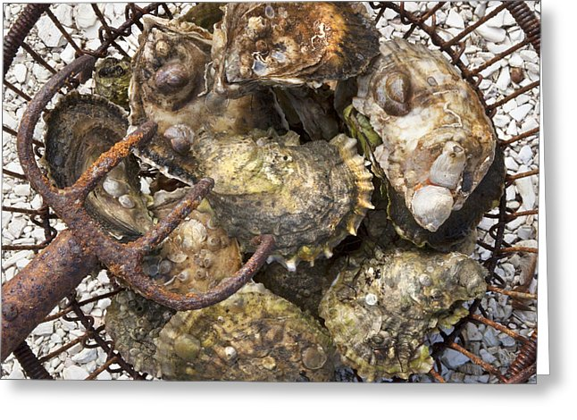 Oysters - Greeting Card