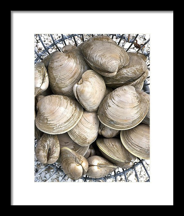 Barnstable Harbor Quahogs - Framed Print