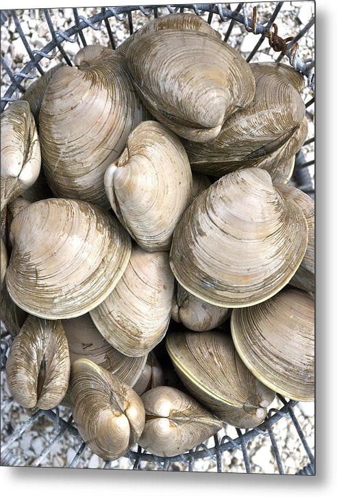 Barnstable Harbor Quahogs - Metal Print