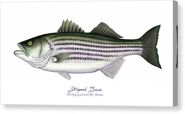 Striped Bass - Canvas Print