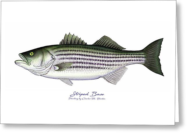 Striped Bass - Greeting Card
