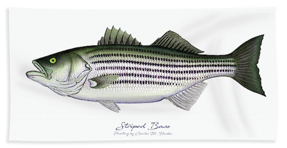 Striped Bass - Bath Towel