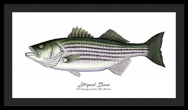 Striped Bass - Framed Print