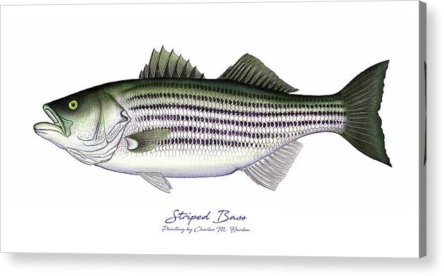Striped Bass - Acrylic Print