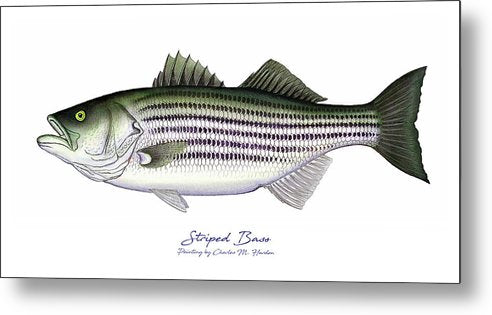 Striped Bass - Metal Print