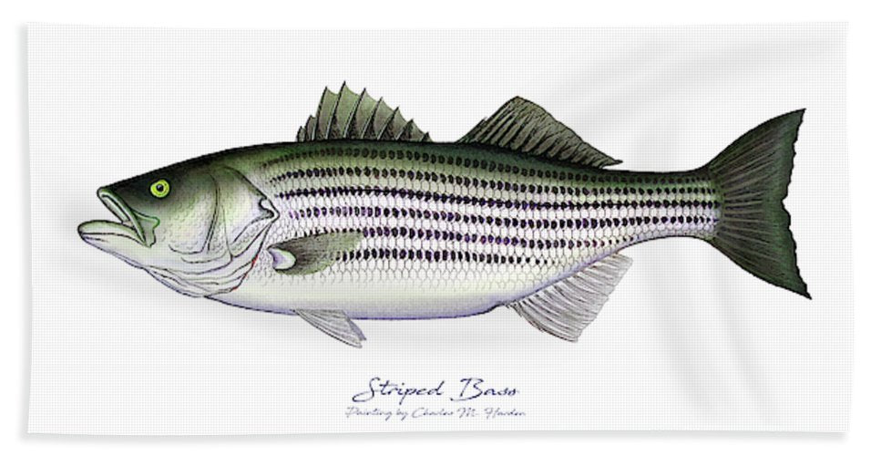 Striped Bass - Beach Towel