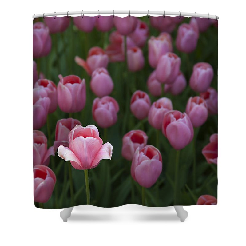 Sun Kissed Tulip - Shower Curtain