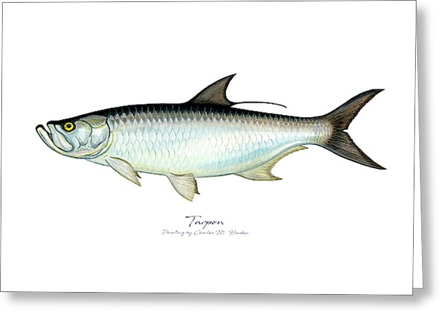 Tarpon - Greeting Card