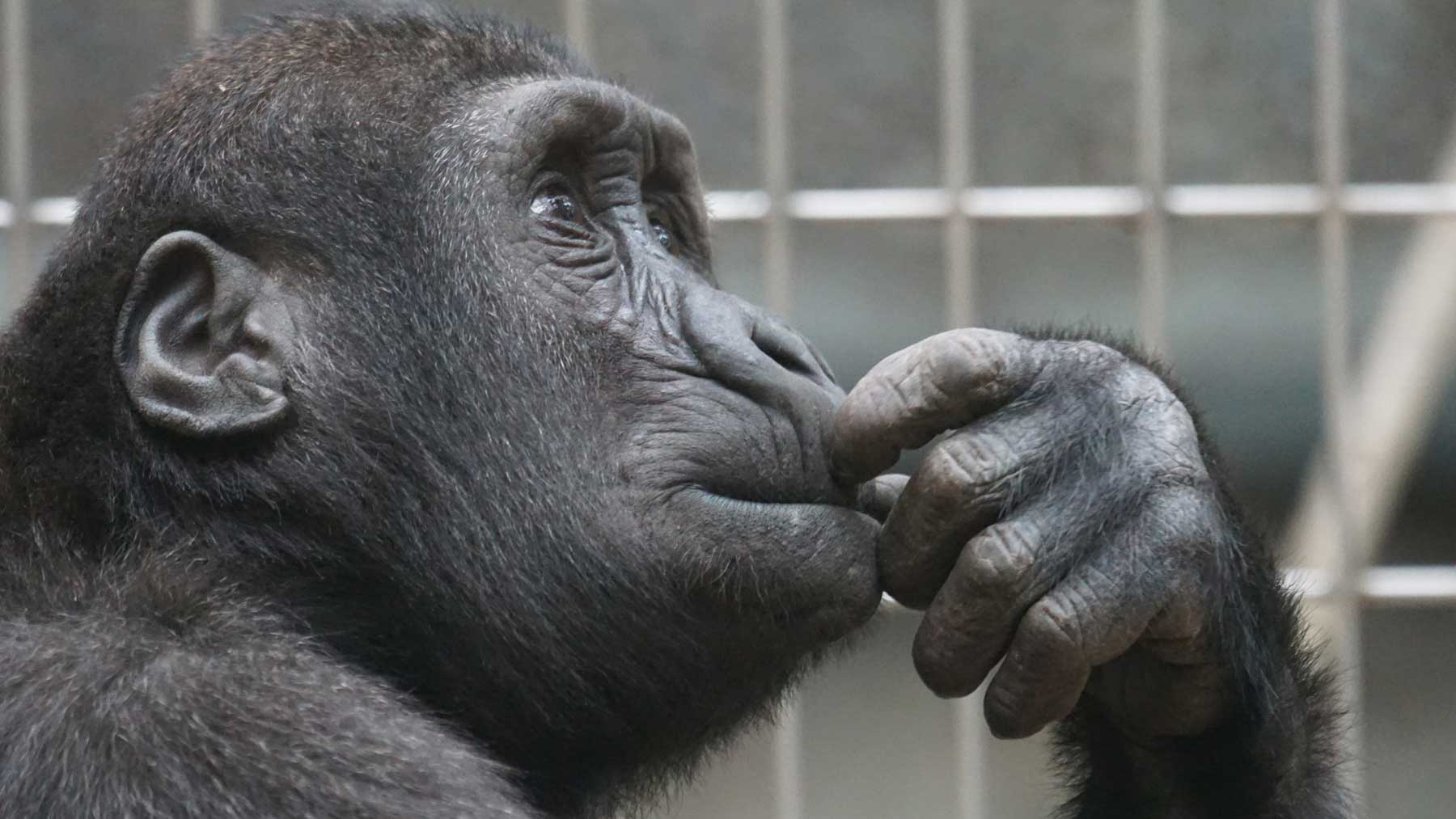 a chimp in a cage with fingers to its mouth, looking doubtful and uncertain