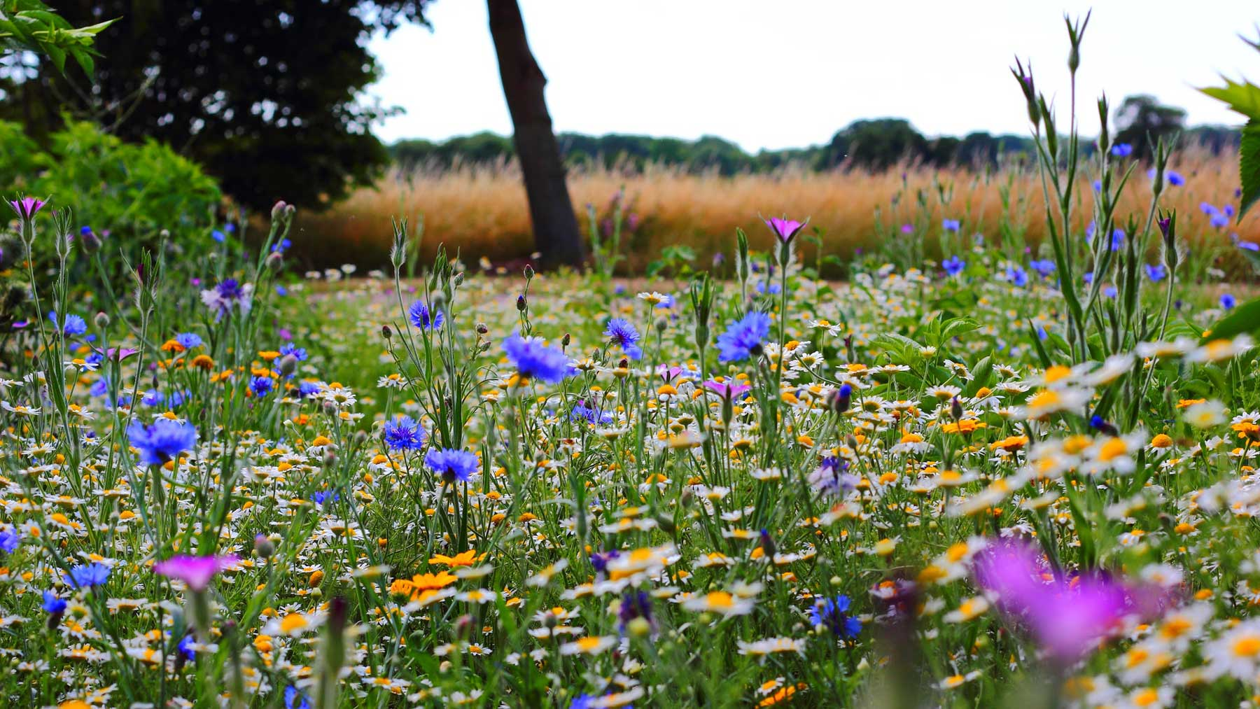 field full of blue, purple and yellow wild flowers