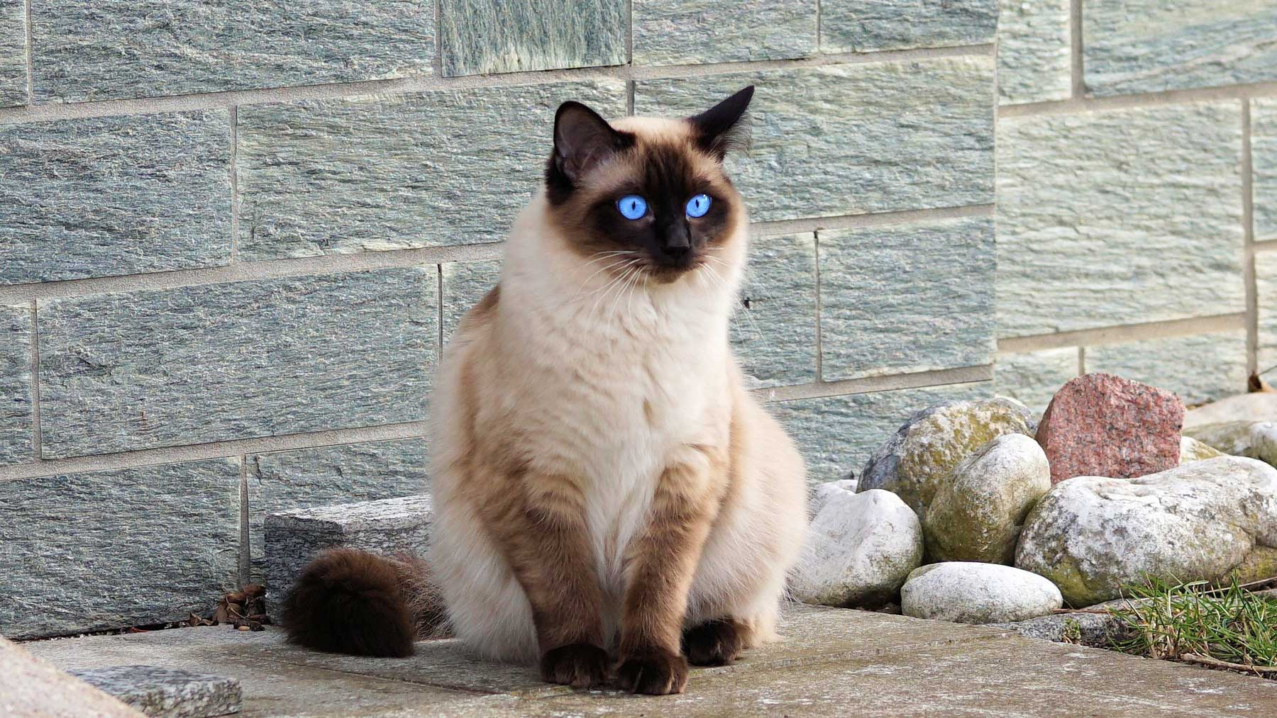 the blue-eyed siamese cat mentioned in Why You Create More Headspace When You Stop Drinking vlog