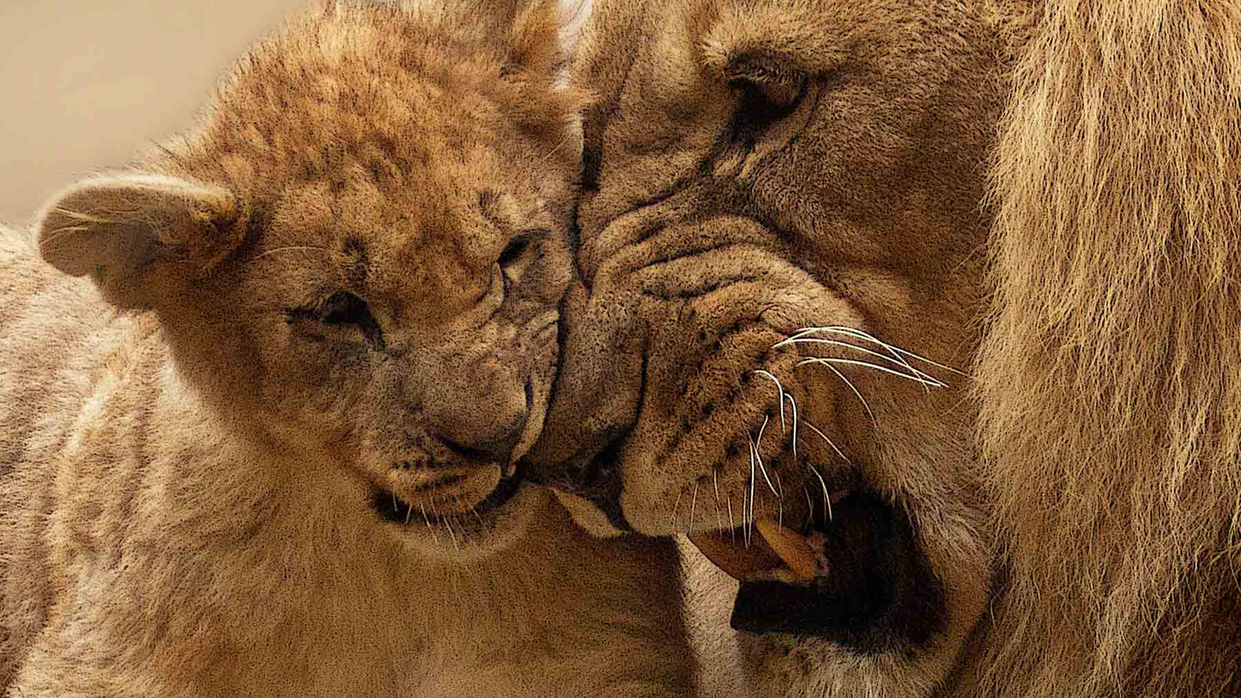 lion cub rubbing against male lion's face to represent the power of belief when we stop drinking