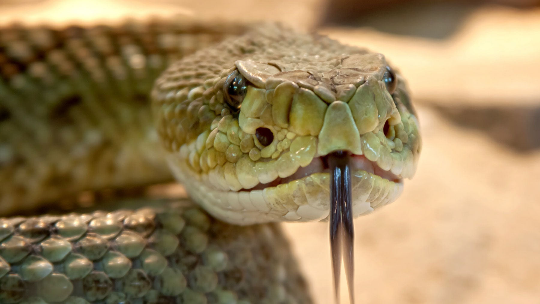 snake facing camera with forked tongue to represent the lies alcohol tells