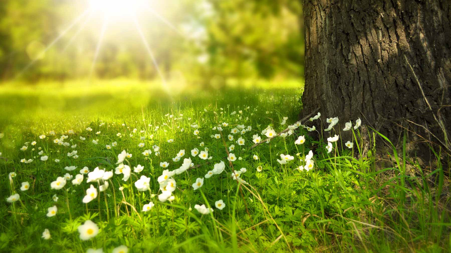 sunshine over daisies at the foot of a tree showing the importance of positive beliefs about life without alcohol