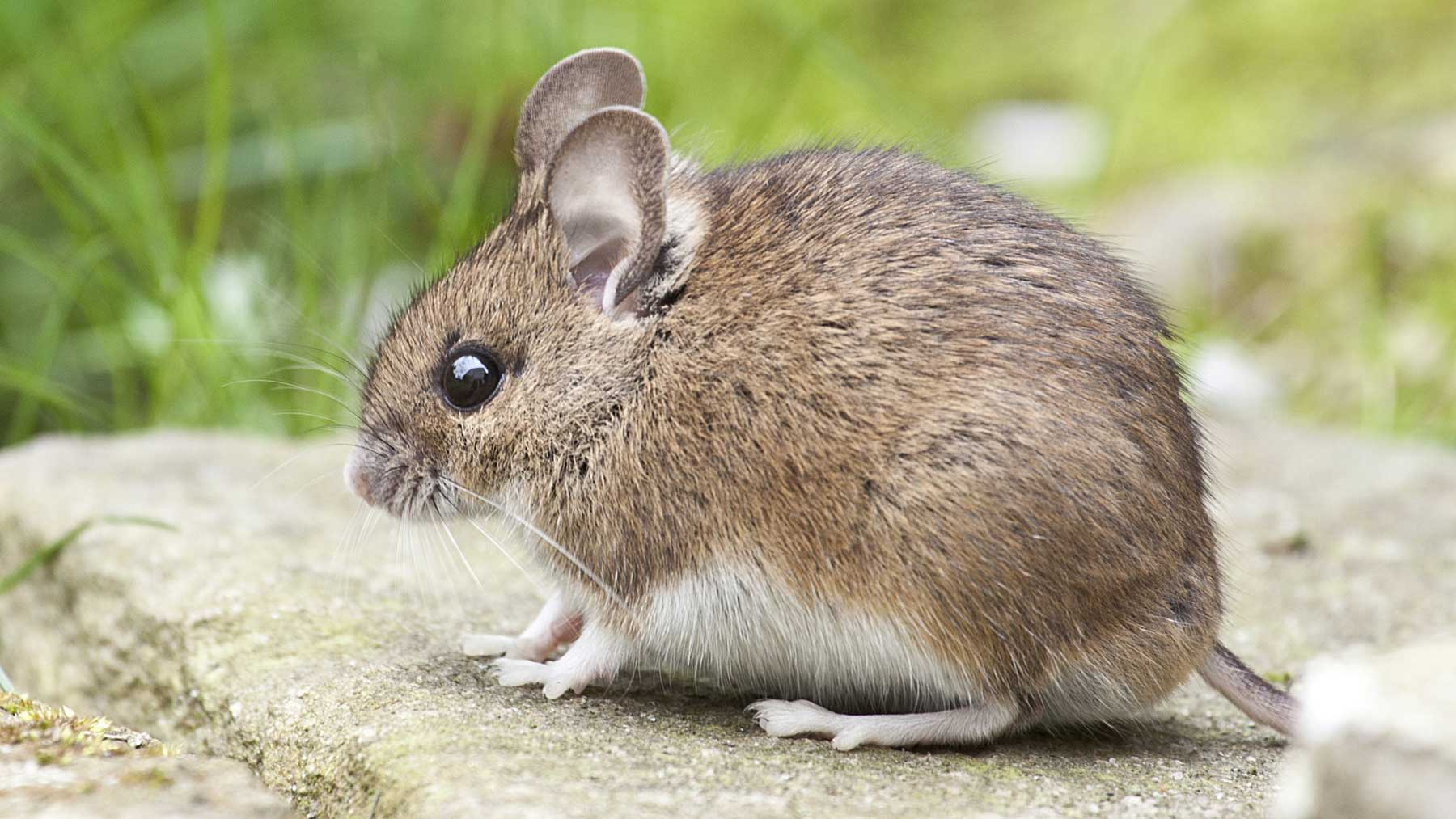 close up of mouse in garden on paving with grass in the background