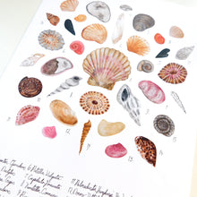 Load image into Gallery viewer, Mollusca Sea Shell Art Print
