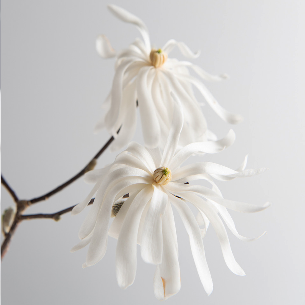 Royal Star Magnolia by Winky Lewis