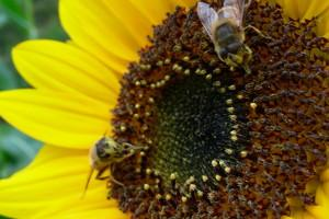 4 Easy Ways to Help Save the Bees