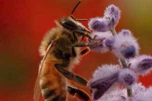 Why do honey bees need our help?