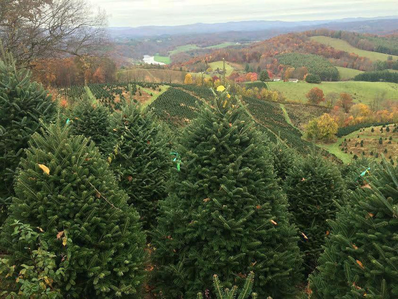 Fresh-Cut Evergreen Trees